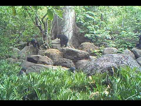 Camera trap captures chimpanzees around the future Boé National Park, Guinea-Bissau