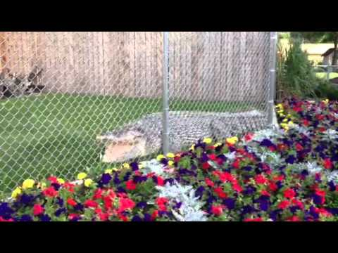 Reptile Gardens Maniac Maniac The Croc Reptile