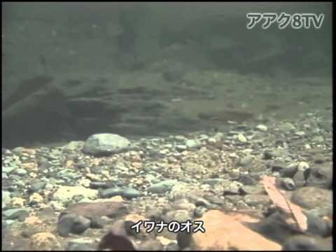 アアク8TV水中映像 ×Goovie 岐阜県の魚類21 イワナの産卵行動