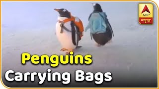 This Adorable Penguin Video Is Going Viral | ABP News