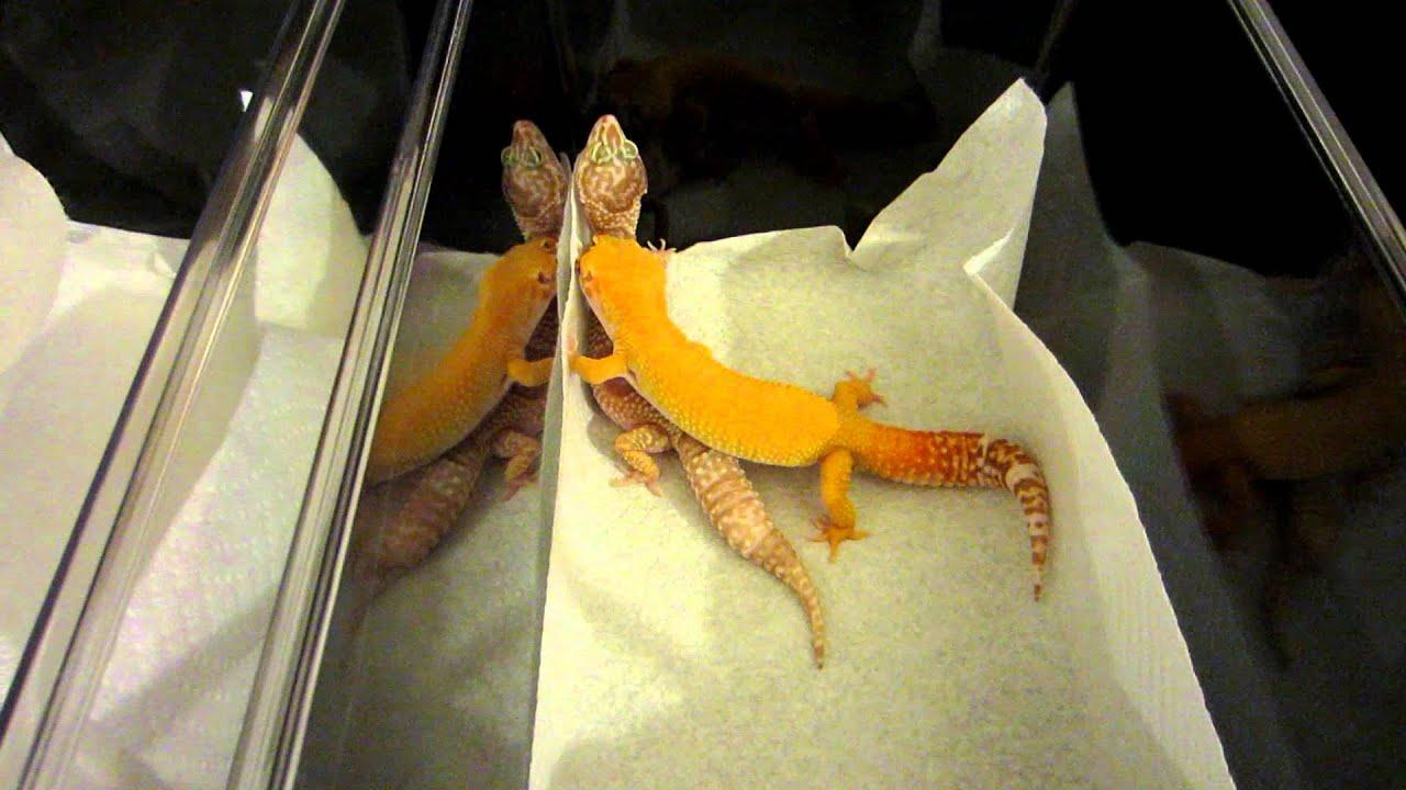 Leopard Geckos Mating