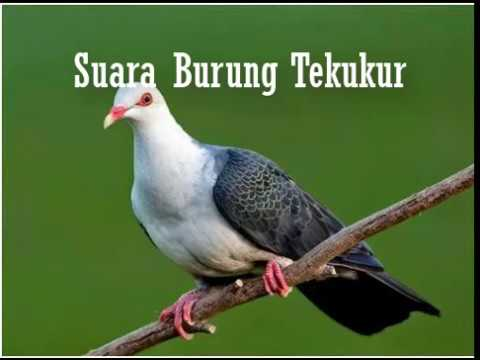 Suara Burung Tekukur Paling Merdu 2018