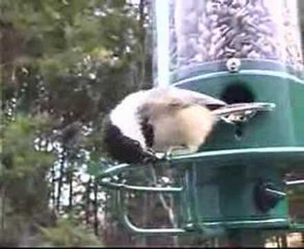 Squirrel Spins Off of Bird Feeder