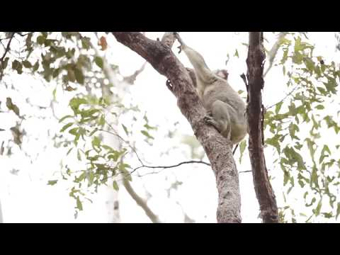 Timberwolf the koala gets released back into the wild!