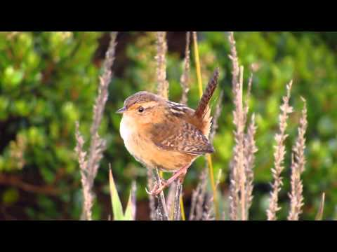 Cistothorus platensis- Sedge Wren SONG -  Aves Parque natural Chingaza - Aves de Bogota