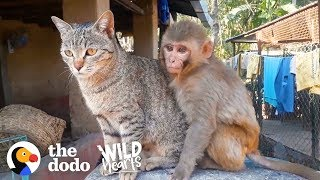 This Wild Baby Monkey is Obsessed With Her Cat  | The Dodo Wild Hearts