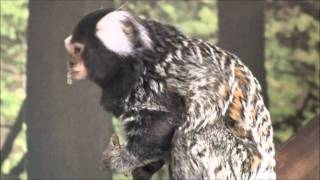 Levi (marmoset monkey) insect obsession