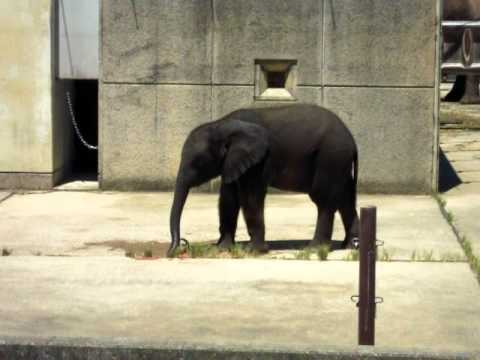 とべ動物園 アフリカゾウ親子 おやつはスイカです 20100817_144.AVI