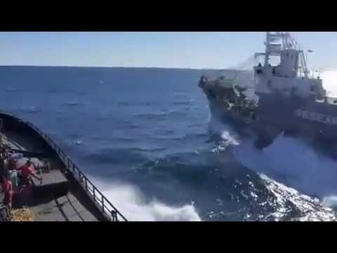 Bob-Barker-intervenes-as-harpoon-vessel-attempts-to-transfer-minke-whale