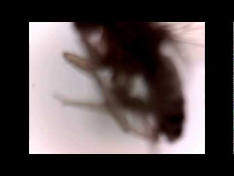 Fruchtfliege Unterm Mikroskop