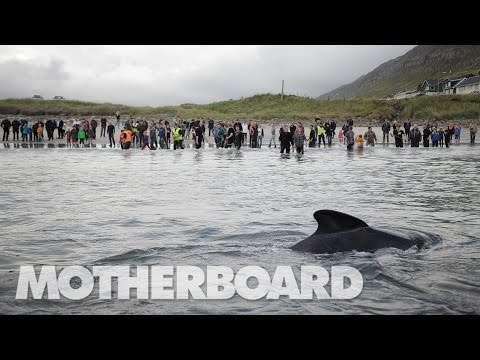 The Grind: Whaling in the Faroe Islands (Trailer)