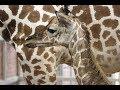 Baby Giraffe Born at Dallas Zoo