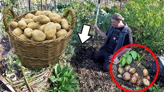 How To Grow A Ton Of Potatoes From Store Bought Potatoes!