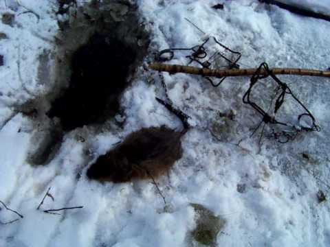 Muskrat Trapping Pictures Muskrat Trapping