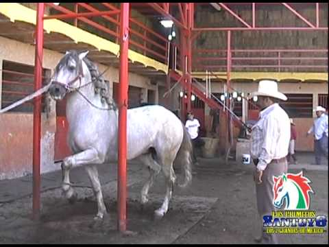 Jalisco - Caballos Espanoles - Los Primitos Santoyo