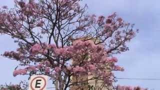 Árboles Ornamentales: Lapacho rosado para diseño paisajístico