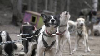The Truth Behind Dog Sledding