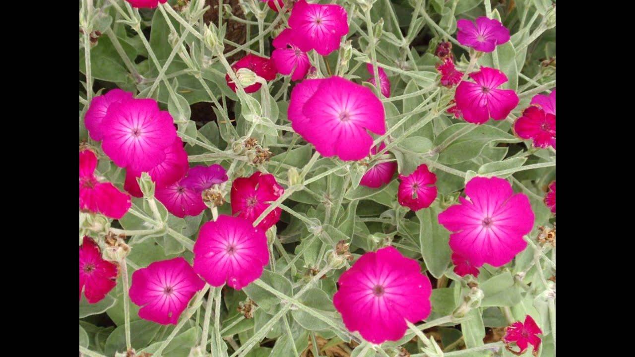 Выращивание из семян лихниса 942