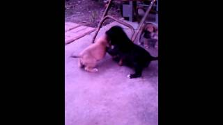 "Bandog pups 5 weeks old ""Who"