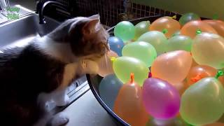 The Best Funny Cat Complation Videos | Very Funny | You Will Die Laughing