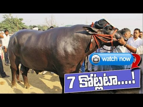 Super bull In Haryana | Owner turns down Rs 7 crore offer