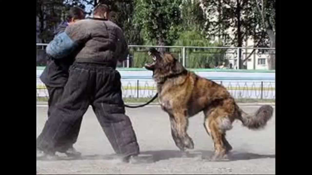 Top 20 Most Strongest Guard Dogs - YouTube