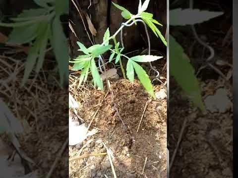 ต้นกัญชาไทย-ลาว. 2 เดือนแรก.