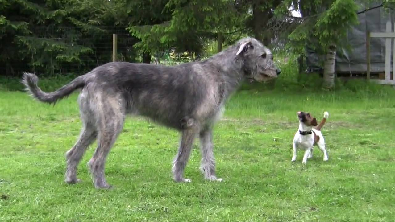 jack russell terrier and irish wolfhound playing   youtube