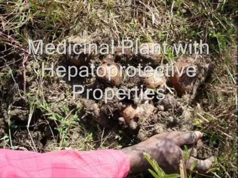 Healing Herb Jimikand (Amorphophallus) in Pankaj Oudhia's Medicinal Plant Database. Part-1