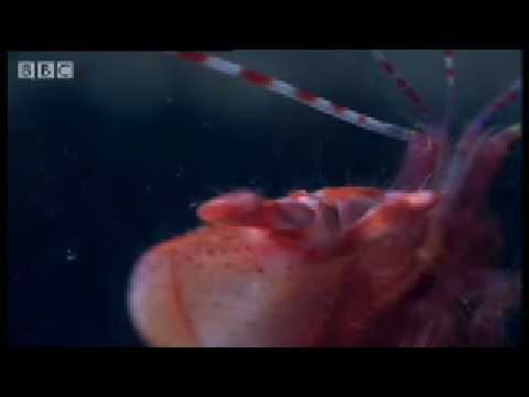 Pistol Shrimp sonic weapon - Weird Nature - BBC wildlife Video