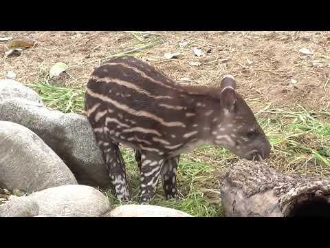 Tapir amazònic (II)