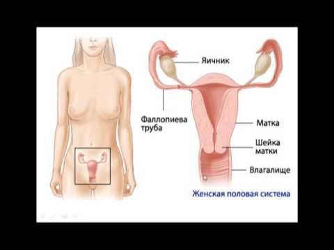 анатомия женского влагалища фото