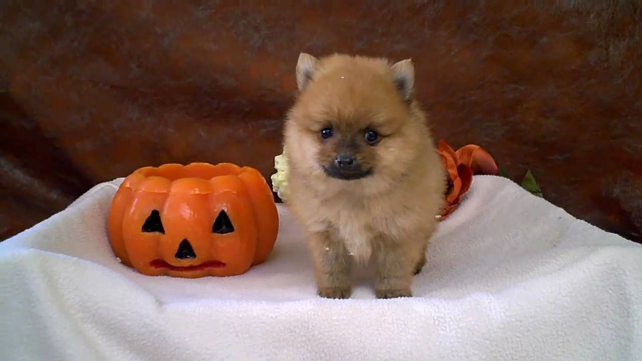 Pomsky Puppies Te Koop Design | Dog Breeds Picture