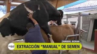Extracción de semen de toro en EUSKADI DIRECTO 04:49