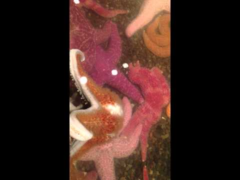 How Do Sea Stars Reproduce?