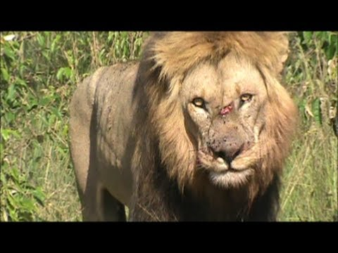 King of the Jungle (Battle Scars)