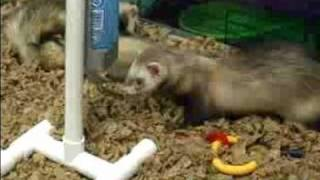How to Care For a Ferret : Getting a Pet Ferret