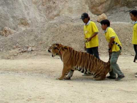 Pissed off Tiger in the Tiger Temple Thailand  Kanchanaburi Music Videos