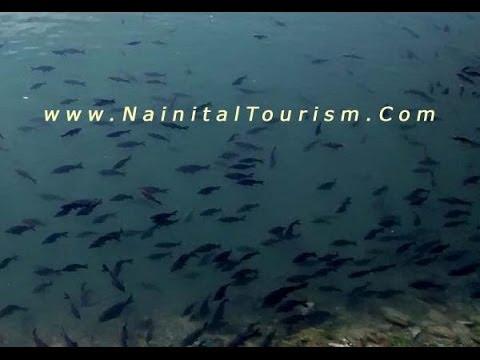 Nainital Nainital Tour Nainital Tourism Fishes in Nainital Lake