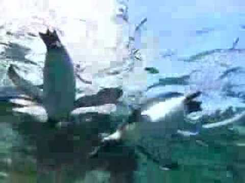 080609旭山動物園~空飛ぶペンギン
