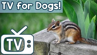 TV for Dogs: Relaxing Music TV Videos for Dogs to Watch! Chipmunk Television to Calm Anxiety in Dogs
