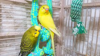 12 Hours Budgies Chirping Parakeets Sounds Reduce Stress Nature Bird Sounds Background Sounds