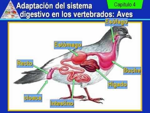 digestion vertebrados: