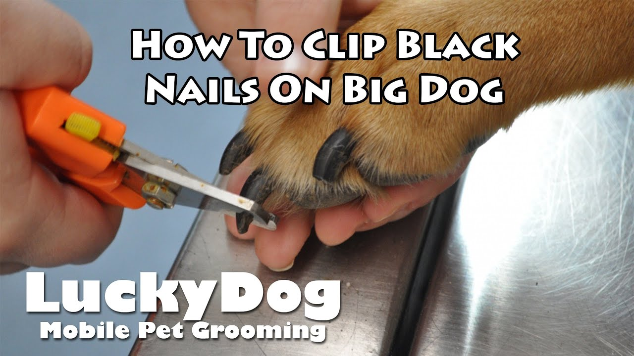 how to cut black dog nails video