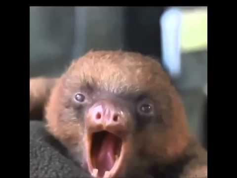 Sloth singing funny!