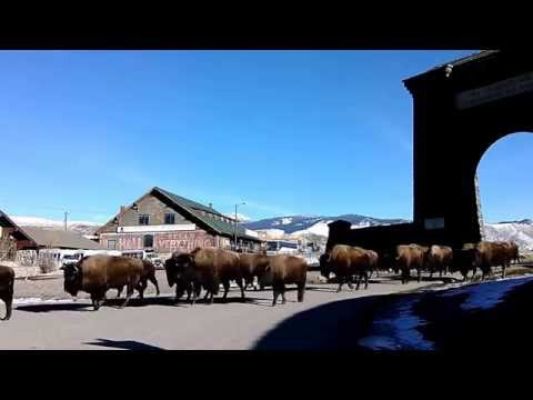 Bison exiting Yellowstone National Park