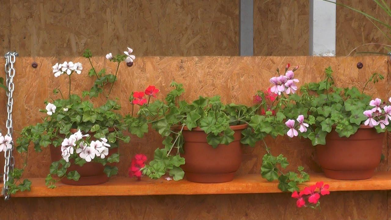 Герани выращивание и уход фото 711