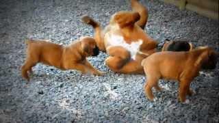 chiots bébé boxer (première portée)