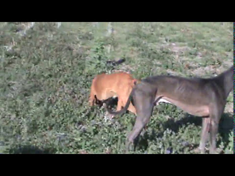 caceria de liebres con galgos carcaraña Parte 2