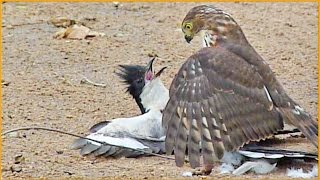 Hawk Tries to Kill Cuckoo Bird